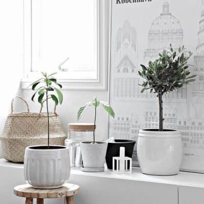 Sfeervolle olijfplanten voor je interieur en een echte olijfboom naast je voordeur