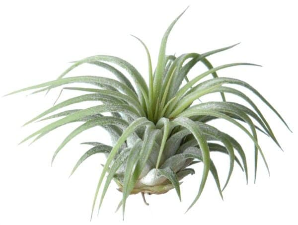 luchtplantje-tillandsia-ionantha