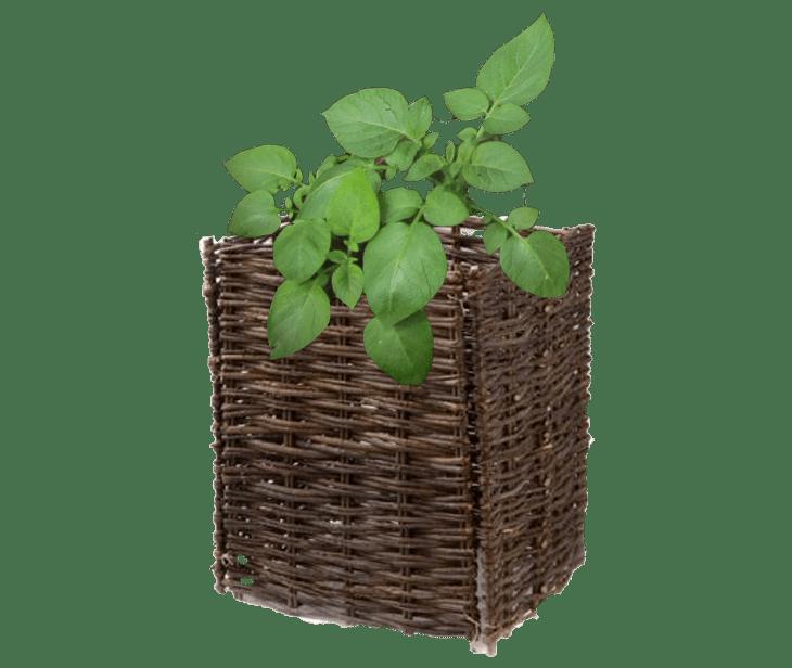 Aardappelen uit eigen tuin of balkon