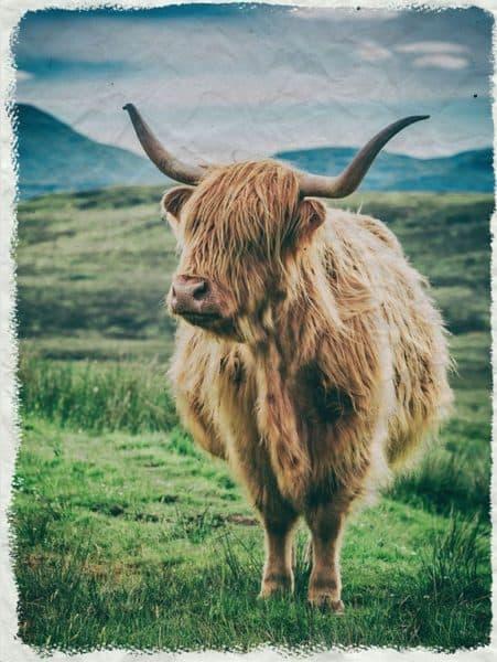 highlandcow-kreukposter - onlineposterkopen - Hippeshops