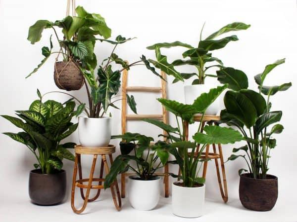 plantsome grote kamerplanten kopen