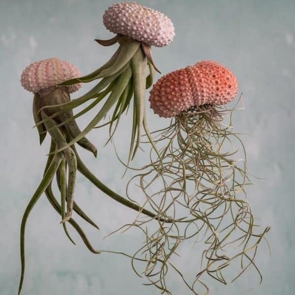 luchtplantjes van bloomique online planten kopen