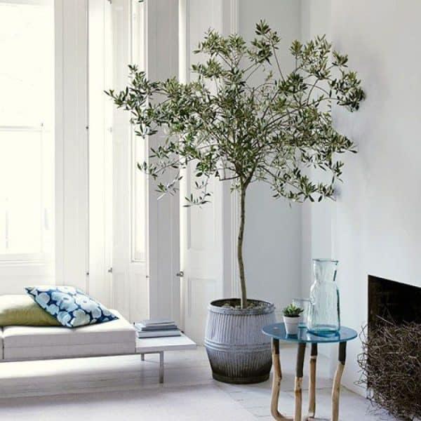 online planten kopen olijfboom