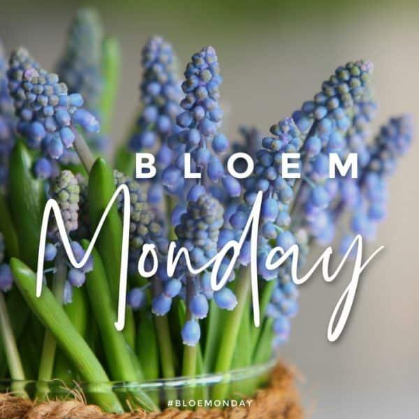 bloemonday blauwe druifjes