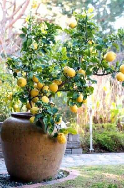 groene blikvangers citrusboom citroenboom