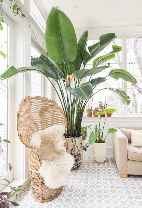 groene blikvangers grote kamerplant trend strelitzia