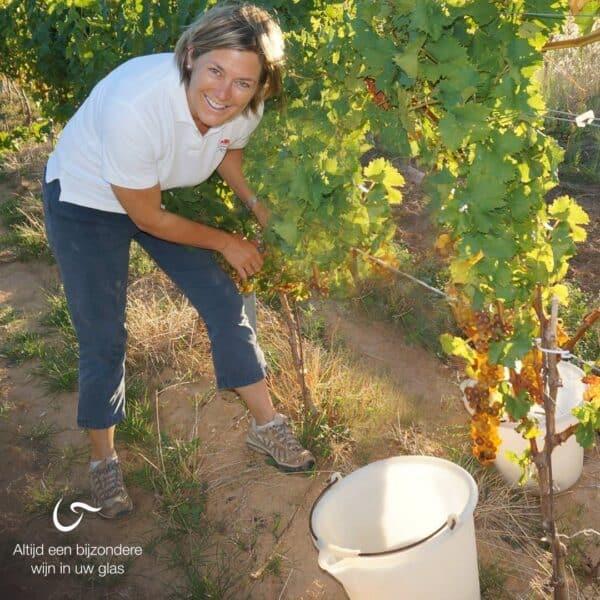 droge witte wijn druivensoort wijnrank